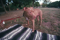 sick dog (Amanda.Stockwell) Tags: film grain 35mm canon americanpitbullterrier pitbull dog park