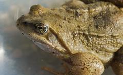 DSC_7981- (kimpompim) Tags: frog amphibian slimy nature
