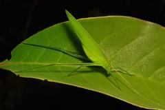 Katydid (Tettigoniidae) (John Horstman (itchydogimages, SINOBUG)) Tags: insect macro china yunnan itchydogimages sinobug katydid bush cricket orthoptera green tettigoniidae