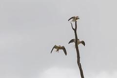 Black Shoulered Kites B (margaret m martin) Tags: birdofprey queensland australia threebirds largebirds whitesky blackshoulderedkites