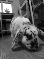 IMG_4727sv (grindove) Tags: kanin djur