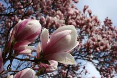 Magnolien im Großen Garten (notpushkin) Tags: magnolia spring pink white frühling dresden