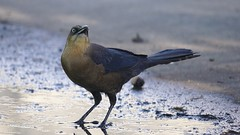 boat_tailed_grackle_female1