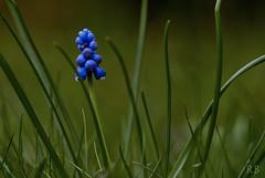 Spring 2017 (MrHansFromSomewhere) Tags: spring frühling macro macrodreams worldofmacro tamron90mm28macro tamron tamron90mm28 sony sonyimages sonyalpha sonya6000 sonyalpha6000 colors colorfull countryside germany deutschland norddeutschland green blue violet vanguard