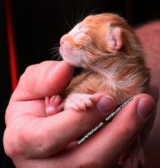 Newborn kitten, just hours old (youtube.com/utahactor) Tags: newborn kittens ginger cats gata gato youtube video 4k sony canon 100mm macro pets animals gingerkittiesfour friendsofzeusandphoebe