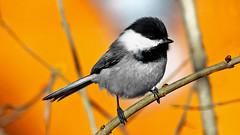 Chick-A-Dee Off Colour (Bob's Digital Eye) Tags: 2017 animal bw bird birds bobsdigitaleye canon canonefs55250mmf456isstm cg chickadee fauna flicker flickr minnesota monotone nature outdoor selectivecolour t3i wildbird wildbirds wildlife