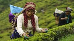 Tea Plucker of Darjeeling (Neha & Chittaranjan Desai) Tags: tea garden darjeeling west bengal india people portrait travel