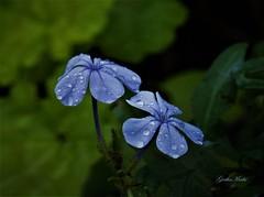 blue plumbago (geethamathi) Tags: geethamathi geethamathivanan flower plumbago blue