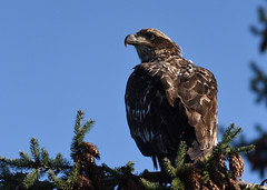 Immature bald eagle (D70) Tags: immature bald eagle crescentbeach britishcolumbia canada sigma 150600mm f563 contemporary tc1401 teleconverter silk monopod