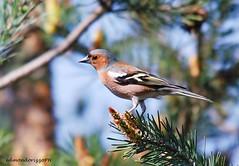 Fringuello - (Edmondo Rizzo) Tags: fringuello fringillacoelebs uccelli uccello fringillidi maschio bologna