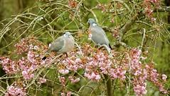 Pigeons on blossom. Explore (Paul (Barniegoog)) Tags: blossom pigeon garden