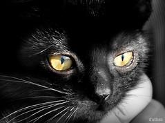 Como una gata (Franco D´Albao) Tags: francodalbao dalbao nikond60 gato cat ojos eyes felino feline negro black animal pupilas pupils visión vision bigotes whiskers