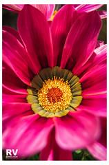 FlowerPower G16-0998 b (ROBERTO VILLAR -PHOTOGRAPHY-) Tags: photobank lanzarotephotográfika lzphotografika rvphotografika flower
