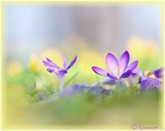 Krokusse 23 (kairemwatt) Tags: winterlinge märz frühling krokusse naturgarten blumen crocuses flowers earlyfloweringplants