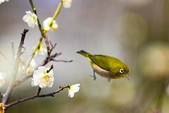 Hopping (moaan) Tags: kobe hyogo japan jp bird mejiro whiteeye japanesewhiteeye hop jump ume umetree branch umeblossom blossoms blossoming inblossom bokeh dof utata 2017 spring canoneos7dmarkii ef70200mmf28lisiiusm