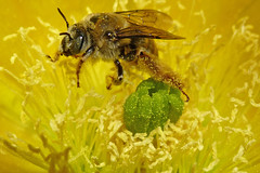 A wild bee in a flower of opuntia cactus. Albuquerque, New Mexico, USA. (cbrozek21) Tags: bee wildbee insect cactus cactusflower yellow pollen macro nature 7dwf