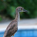 A87A8493 Yellow-crowned night heron