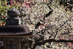 Colorful branches (Teruhide Tomori) Tags: flower spring kyoto japon japan shrine plum ume tree kitanotenmangushrine 京都 春 梅 花 日本 北野天満宮 blossom 神社