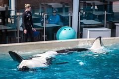 Corky (Jennifer Stuber) Tags: seaworld seaworldsandiego orca killerwhale orque shamu shamustadium cetacean orcinusorca orcinus black white nikond750 nikon swc swsd