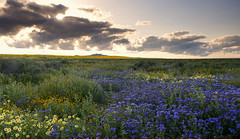 The flower in the vase smiles, but no longer laughs… (ferpectshotz) Tags: carrizoplain nationalmonument socal superbloom desert evening sky drama flowers wildflowers