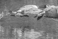 9Q6A4867 (2) (Alinbidford) Tags: alinbidford alancurtis brandonmarsh greyheron mallard commonsandpiper coot kingfisher canadagoose stockdove gadwall chicks waterrail blackcapmale kestrel snipe greensandpiper