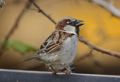 I'm singing in the sun - HFF (woodwindfarm) Tags: happy fence friday hff house sparrow