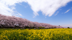 Yellow Pink Blue and White !! (chikuma_riv) Tags: japan nature landscape river lake mountain forest flower sunset sunrise spring summer autumn winter leaves