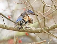 Bluebird Preening (shelshots) Tags: bluebird bird preen naturephotos avian