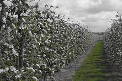 Blossom lane (Nicci1983) Tags: bloesem blossom wit white fruitbomen fruit trees green groen gras zeeland lente spring