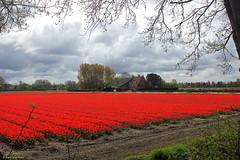 CDM3130 (Fransang) Tags: lisse boerderij farmhouse tulips bloemen stationsweg ter specke spekkelaan monument gemeentelijk