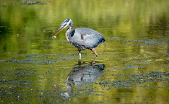Successful Hunt - explored (maytag97) Tags: heron blue great bird nature water ardea herodias wildlife long america beak bill feathers lake colorful animal north large pond neck crest outdoors reflection maytag97 tamron 150 600