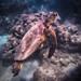 Undersea Adventure (Michael Riffle) Tags: honolulu hawaii unitedstates us seaturtle greenseaturtle underwater ocean sea wildlife coral michaelriffle 2017 oahu snorkel snorkeling hanaumabay
