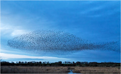 Murmuration at Nosterfield Gravel Pits (Antony Ward) Tags: murmuration starlings nosterfieldgp