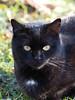 Koty Felix & Kocio (arjuna_zbycho) Tags: felix blackcat tuxedo tuxedocat kater hauskatze cat animal cute animals pets gato kitten feline kitty kittens pet tier haustier katzen gattini gatto chat cats kocio