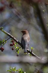 Snack (Bloui) Tags: 2016 botanicalgarden eos7d jardinbotanique may spring montréal québec tree bird cedarwaxwing waxwing bombycillacedrorum jaseur jaseurdescèdres jaseurdamérique