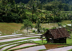 Travel Makes One Modest (blueverbena) Tags: bali indonesia tabanan travel ricefields