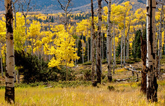 Colorado Aspen (Dances With Light) Tags: dwl danceswithlight sony a350 sonya350 aspen colorado cuchara fall