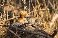 7K8A6755 (rpealit) Tags: scenery wildlife nature east hatchery alumni field hackettstown gray squirrel