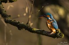 Eisvogel-Wümmeniederung-Bremen©Arne Flemke (Cristoforo Colombo) Tags: eisvogel bremen wümme wümmewiesen