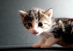 Kitty 002-006 (mcg0011) Tags: gatito kitty cute mascota pet felino feline kat katt katze chat kot manuelcarrasco