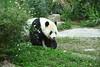 動物園_360 (Taiwan's Riccardo) Tags: 2014 taiwan digital color dslr nikond600 nikonlens afs nikkor zoom 18200mmf3556 vr 台北市 木柵 動物園 熊貓 panda 團團