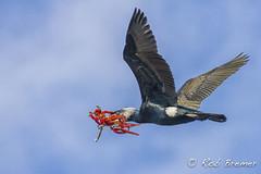 Cormorant / Aalscholver (rob.bremer) Tags: noordhollandsduinreservaat infiltratiegebied duinen dunes castricum bird birdsinflight greatcormorant cormorant phalacrocoraxcarbo kennemerduinen