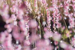 スポットライトと水滴のアクセサリー_IMG41838 (m.hamajima) Tags: pentax k3 しだれ梅 梅 plumblossoms