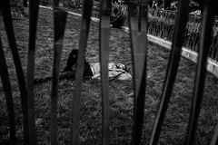 _DSF2300 (Dave Cavanagh Street) Tags: london londonstreetphotography streetphotography bw blackandwhite railings sleep urban tired exhausted crashedout zoo fujixt1 fuji23mm fuji23mmf14 24hourproject2017 24hourproject2017london