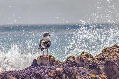 Bird Taking a Shower (Michael F. Nyiri) Tags: malibu southerncalifornia ocean california bird