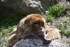 DSC_1285 (nicoooooh) Tags: barbaryape berberaap dierenrijk nuenen zoo dierentuim