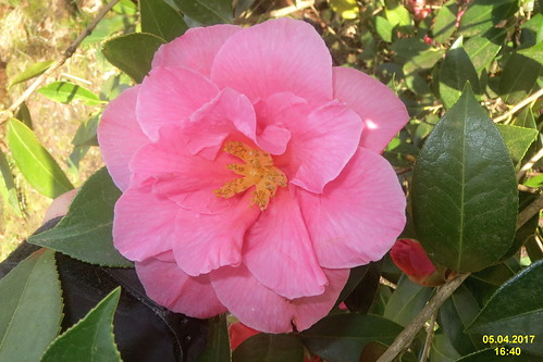 Camellia (SG)