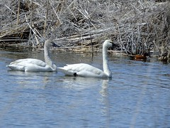 Tundra Swans (BriarCraft - crazy busy in July) Tags: cinnamonteal swan teal tundraswan water
