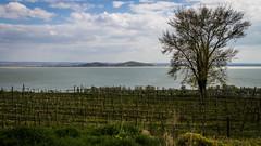 Badacsony (z e d s p i c s™) Tags: balaton badacsony magyarország hungary hongarije ungarn plattensee vineyard nature fonyód zedspics landscape lakescape allrightsreserved 1704