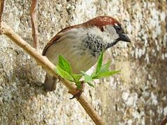 House sparrow by the old wall! (macfudge1UK) Tags: ©allrightsreserved 2017 avian bbcspringwatch bird branch britain britishbird britishbirds bush coolpix coolpixp610 england fauna gb greatbritain housesparrow nature nikon nikoncoolpixp610 oxfordshire oxon p610 passerdomesticus perch perching rspbredstatus sparrow spring uk wall wildlife